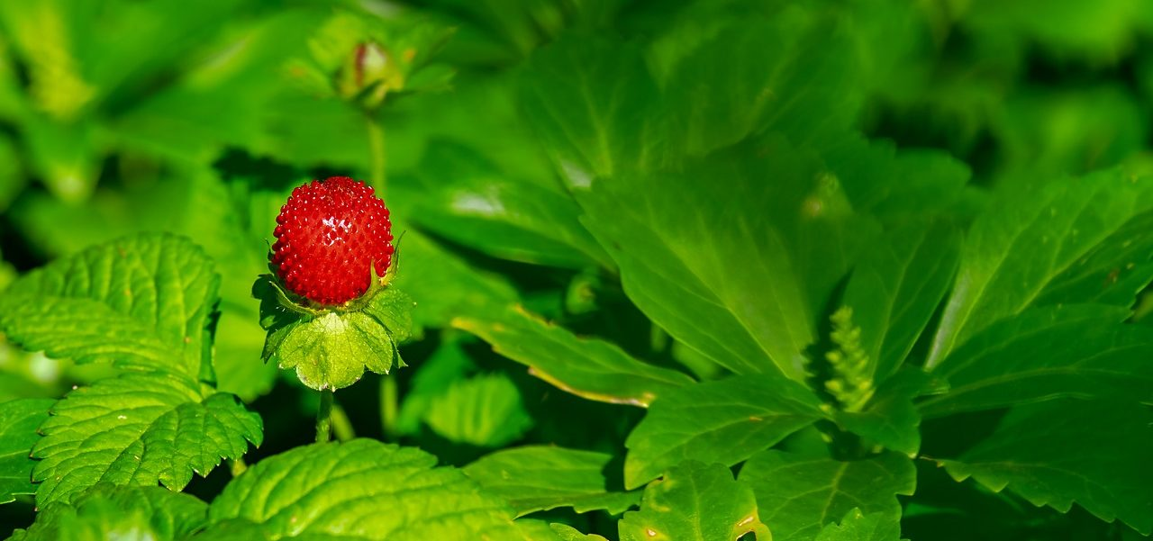 A new strawberry emerging